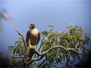 Adult female peregrin falcon - photo Victor Hurley